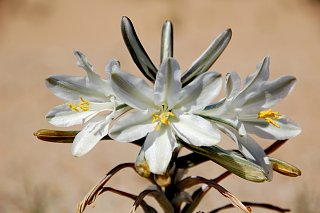 Click image for larger version  Name:DSC_0142 Desert Lily.jpg Views:107 Size:289.6 KB ID:81114