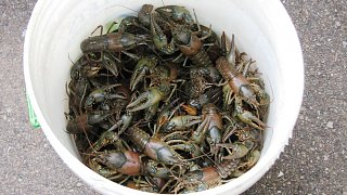 Click image for larger version  Name:crayfish.jpg Views:127 Size:355.3 KB ID:84282
