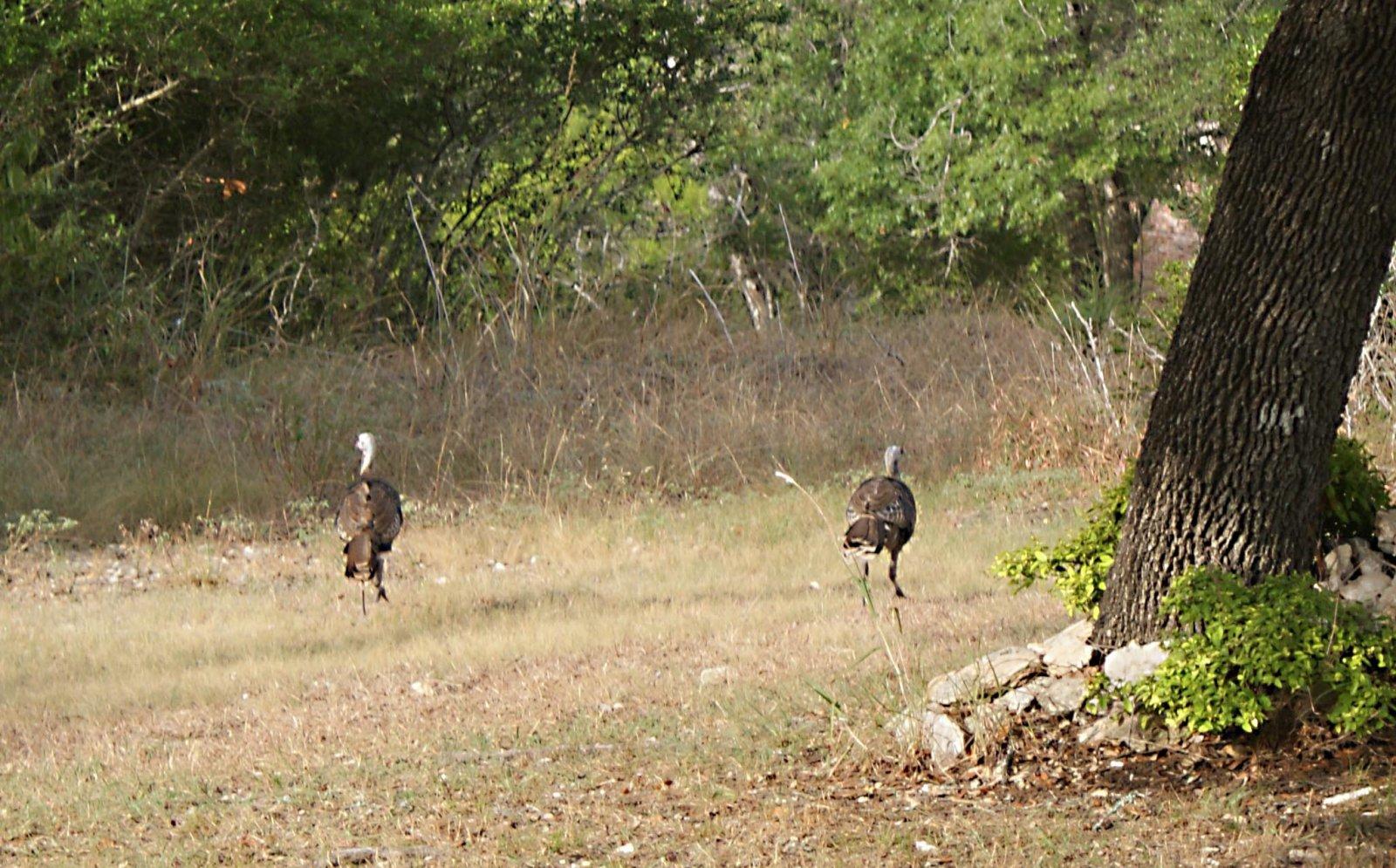 Click image for larger version  Name:Turkeys.jpg Views:74 Size:370.9 KB ID:84688