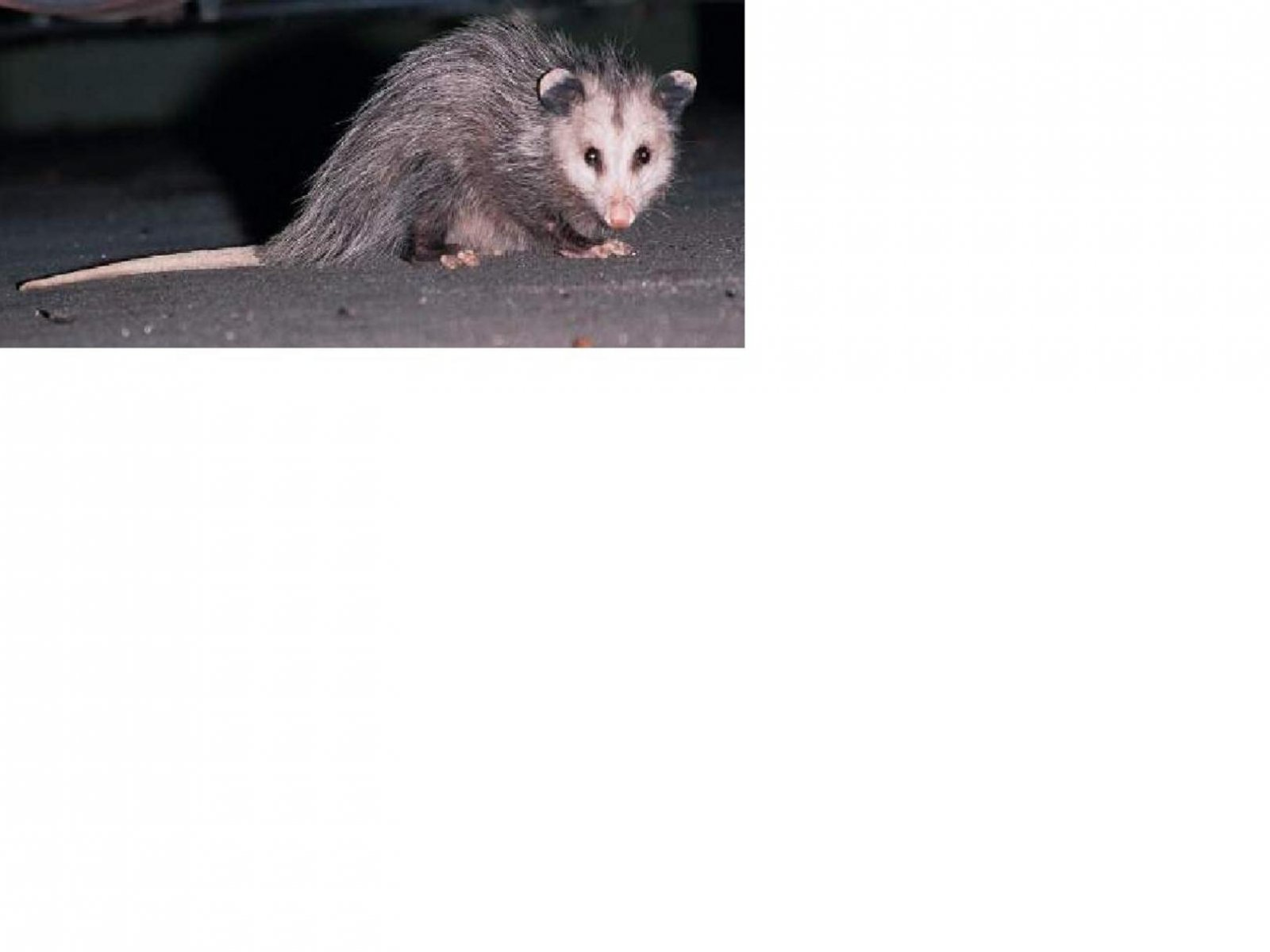 Click image for larger version  Name:Opossum.jpg Views:67 Size:81.8 KB ID:92002