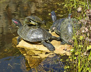 Click image for larger version  Name:Turtles_8in.jpg Views:104 Size:679.4 KB ID:98541