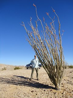 Click image for larger version  Name:ocotillo and robin.jpg Views:1591 Size:167.3 KB ID:2912